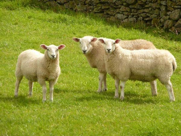 stanza_artist-sheep