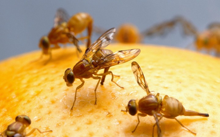 mosca da fruta