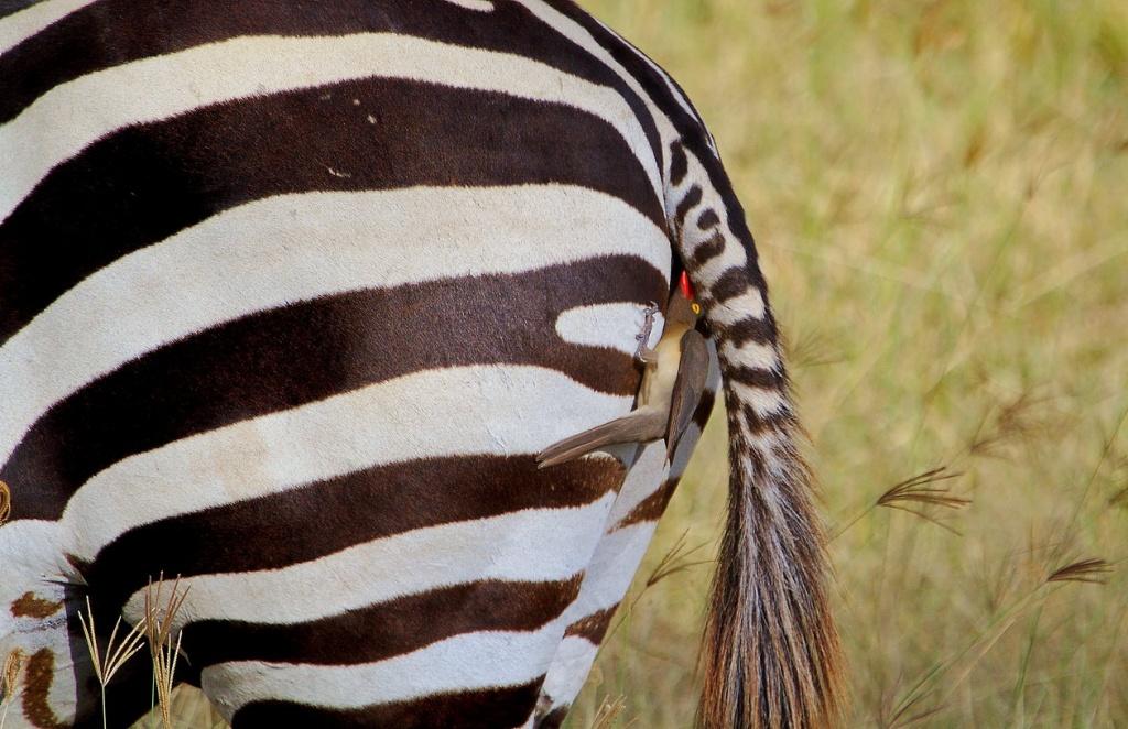 разета демотиватор с зеброй тач
