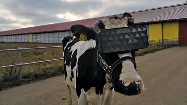 Óculos de Realidade Virtual ajudam vacas a produzirem mais leite
