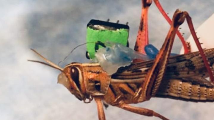 Imagem chip tecnológico colocado no gafanhoto