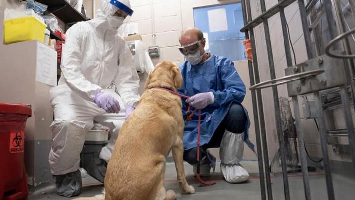 Imagem análise virológica nos cães que podem ser portadores do novo cornavírus