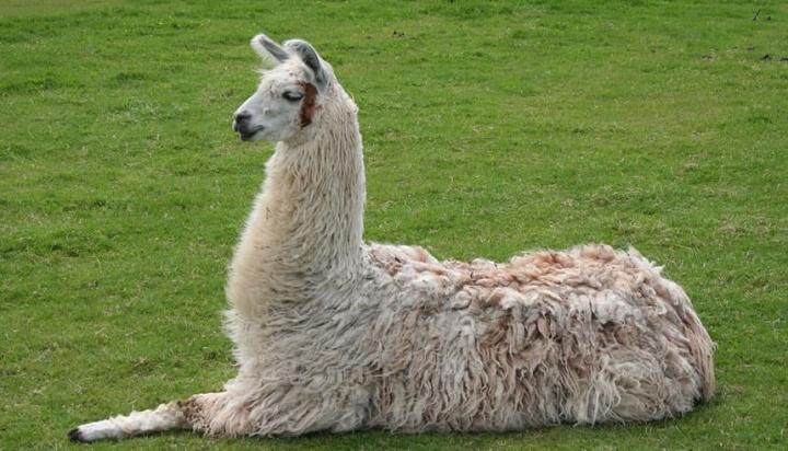 Imagem Lama que tem anticorpo poderoso contra o coronavírus