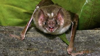 Imagem morcegos com coronavírus que proca a MERS e COVID-19