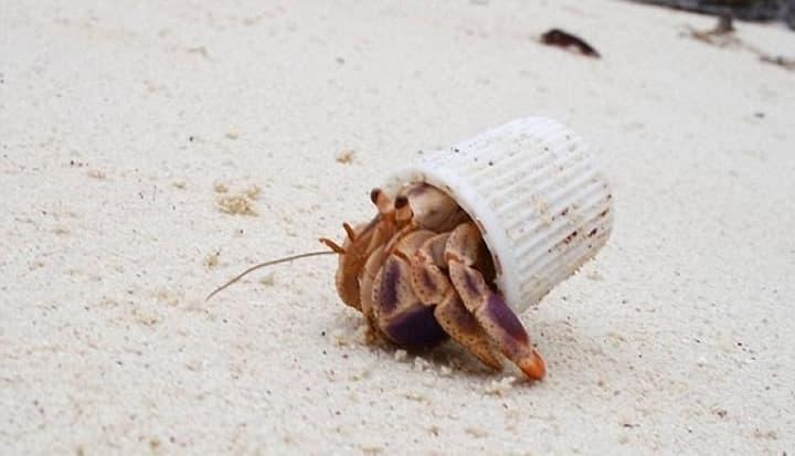 Imagem carabgueijois afetados pela poluição