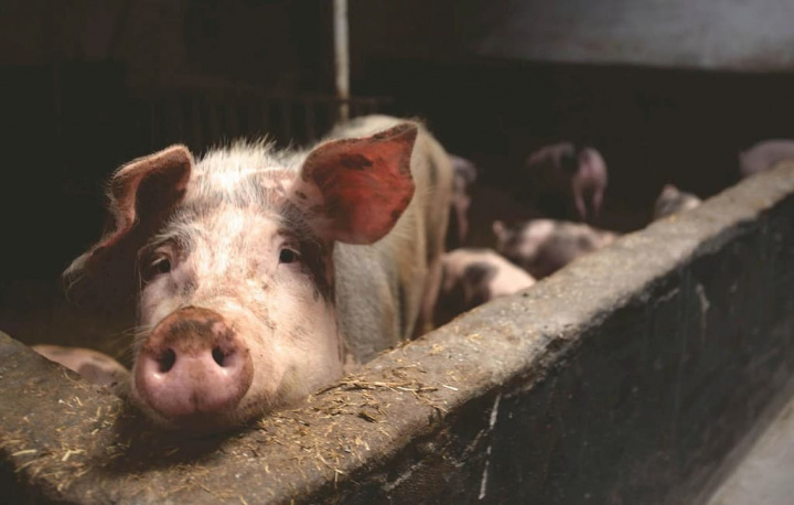 """G4 EA H1N1: Novo vírus com """"potencial pandémico"""" detetado na China..."""