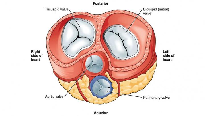 Imagem válvulas do coração