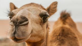 Imagem camelo que tem uma pele eficiente a refrigerar o corpo