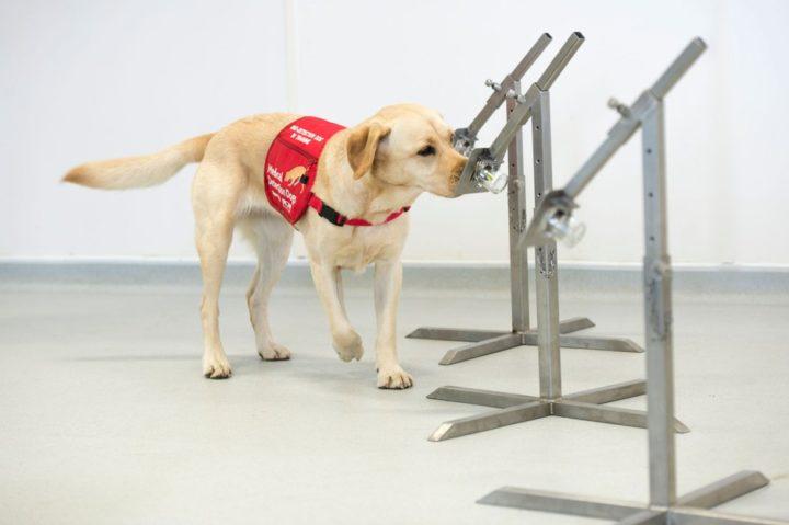 Estudo: Cães podem detetar o coronavírus com 96% de precisão