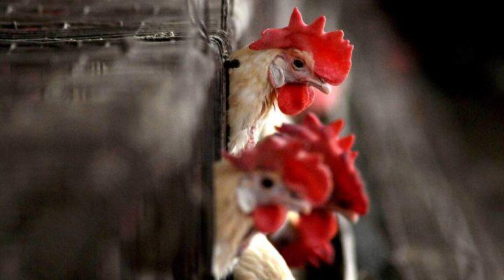 Detetado o primeiro caso de gripe aviária H10N3 em humanos