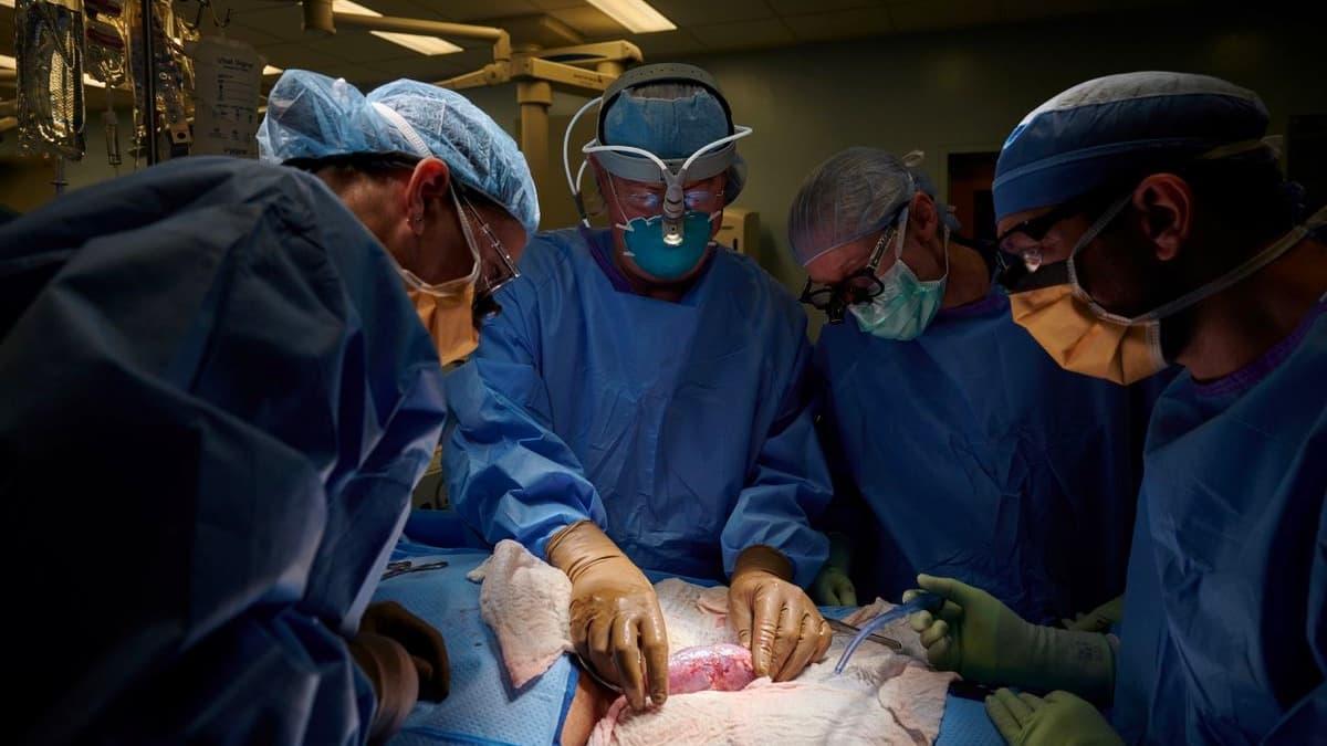 Transplante histórico de rim de porco geneticamente modificado para humano